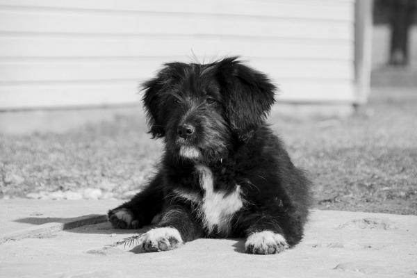 Tumore a cellule di Sertoli nel cane: che cos'è, cause e trattamento