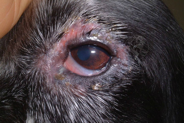 occhio del cane