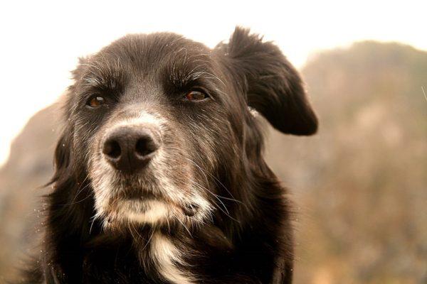 Addestrare un cane vecchio al guinzaglio
