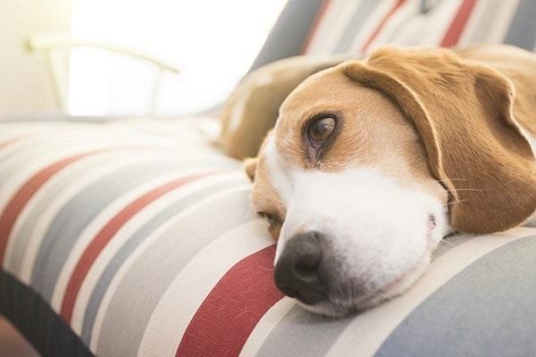cane con lo sguardo assente