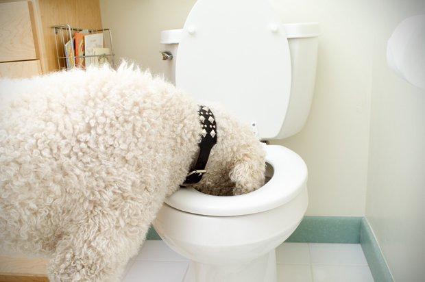 Come insegnare a un cane a non bere dalla toilette