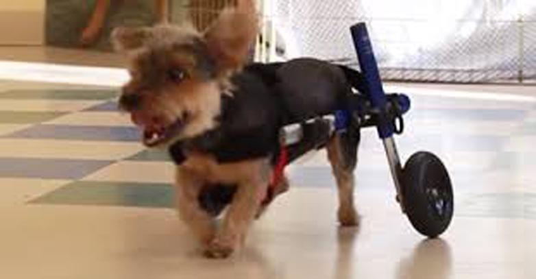 Cane che cammina grazie ad un carrellino
