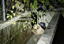 Cani caduti in una vasca a Spoleto