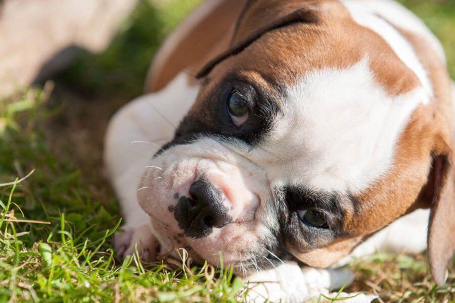 cucciolo di cane che mordicchia