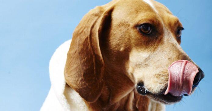 cane si lecca il naso
