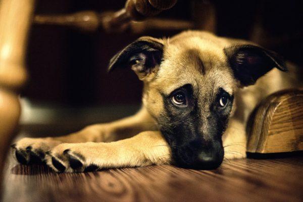 Come aiutare un cane con dolore neuropatico