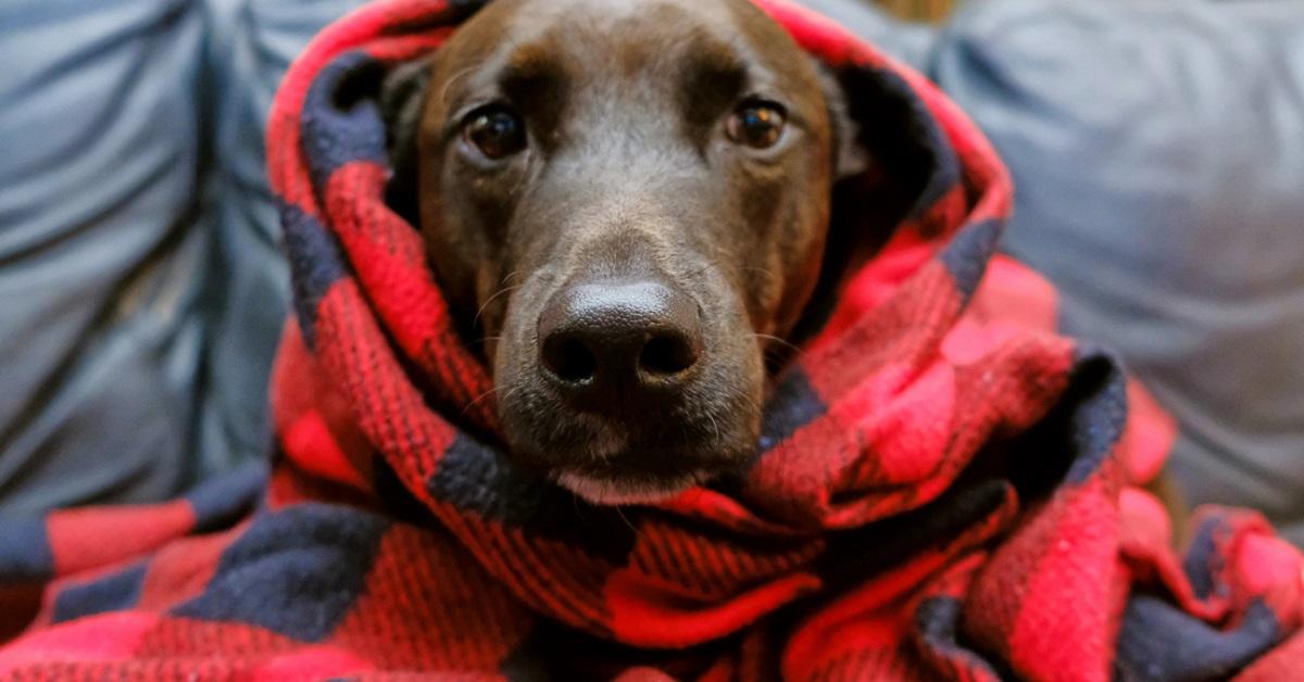 cane avvolto in coperta
