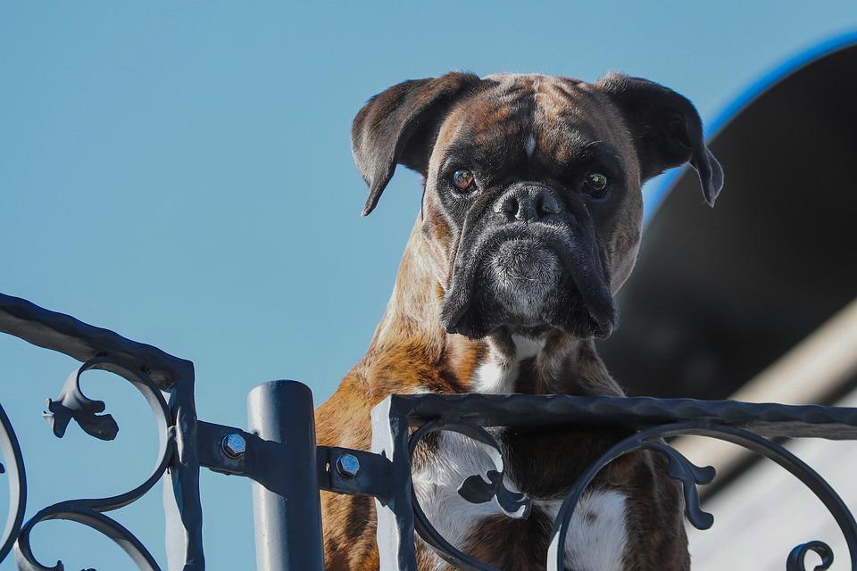 cane di razza che pensa