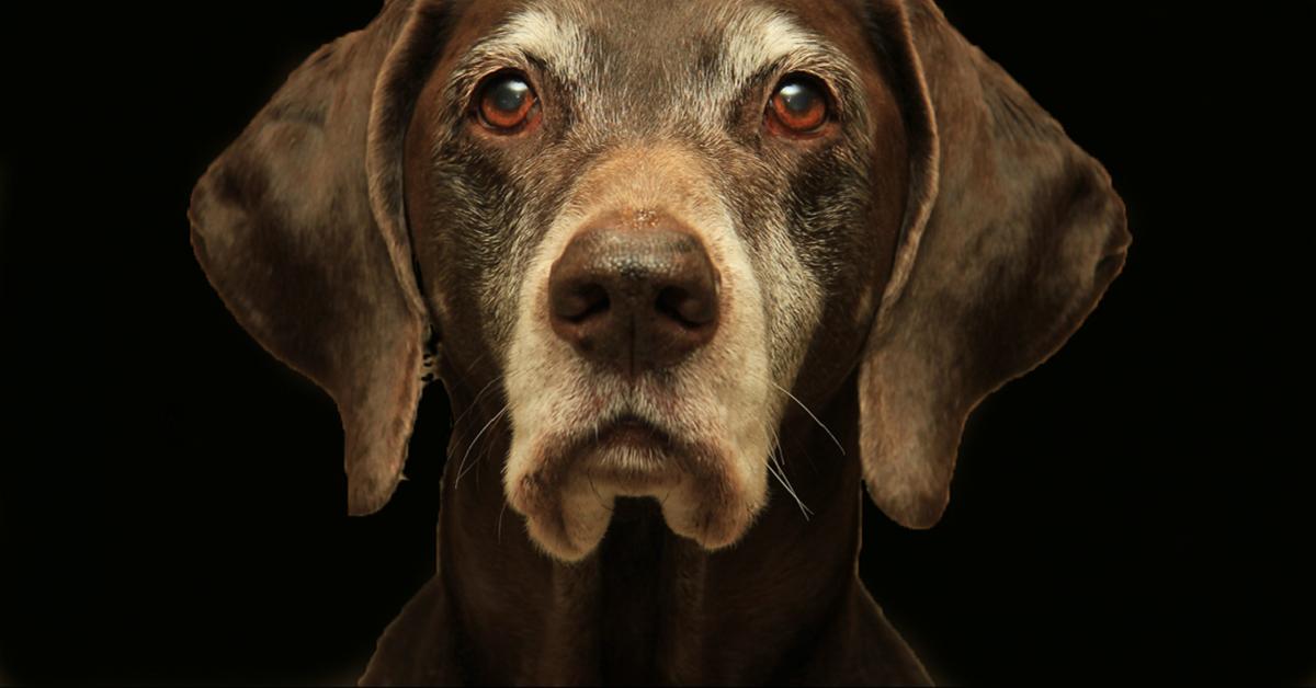 cane con peli bianchi sul muso