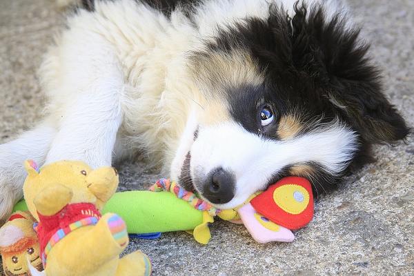 cucciolo di cane con giochi