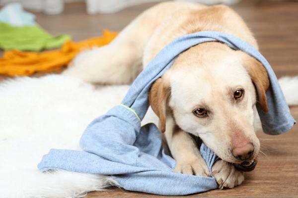 cane che mordicchia pigiama