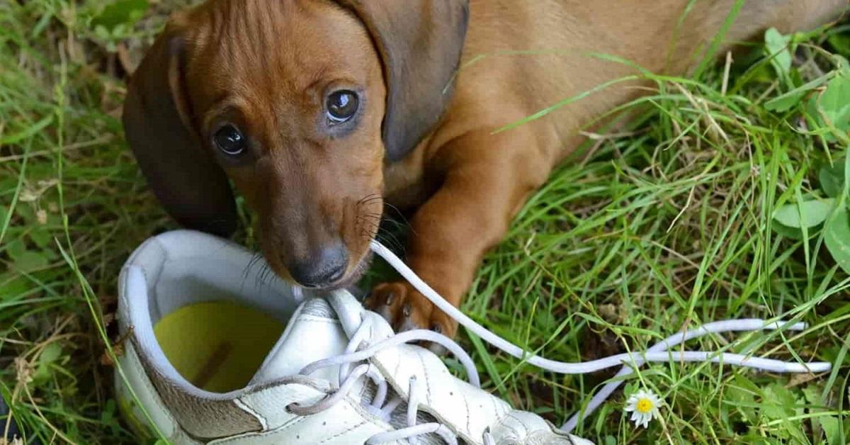 cane con scarpa