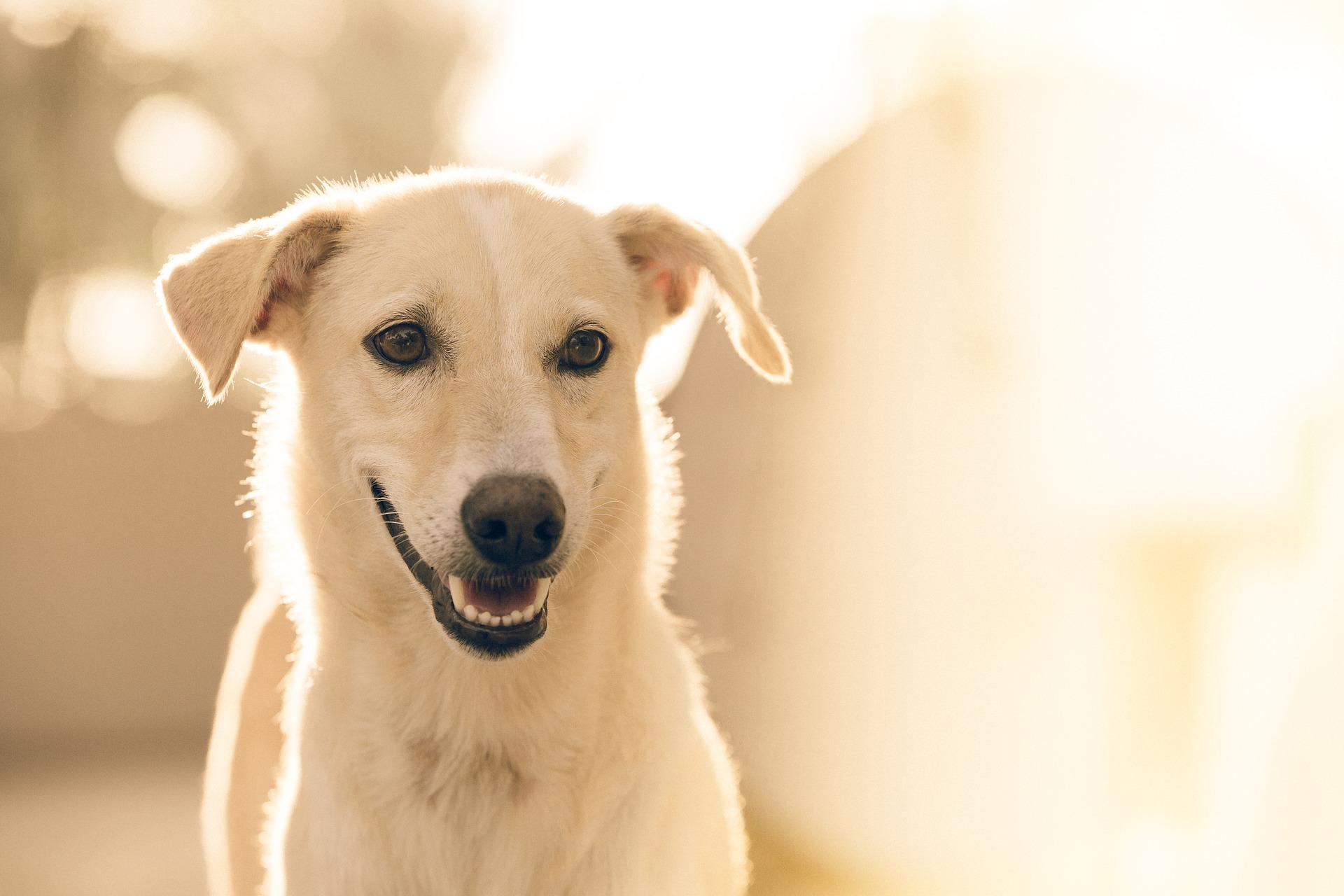 cane bianco impaziente