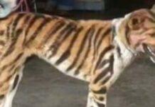 Un cane dipinto da tigre