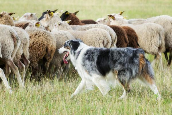 cane da pastore con pecore