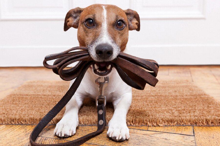 cane pronto per la passeggiata