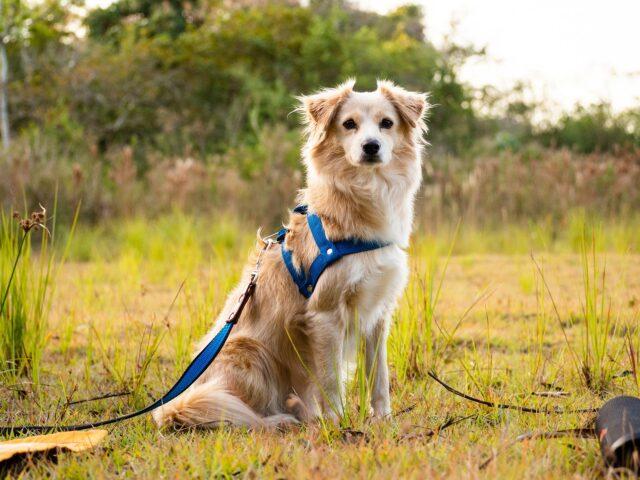 cane con pettorina e guinzaglio