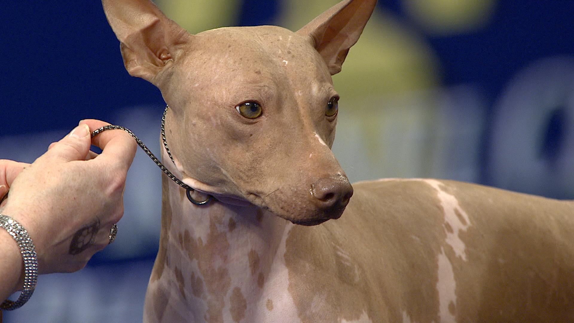 esemplare di American Hairless Terrier