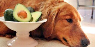 cane non può mangiare avocado