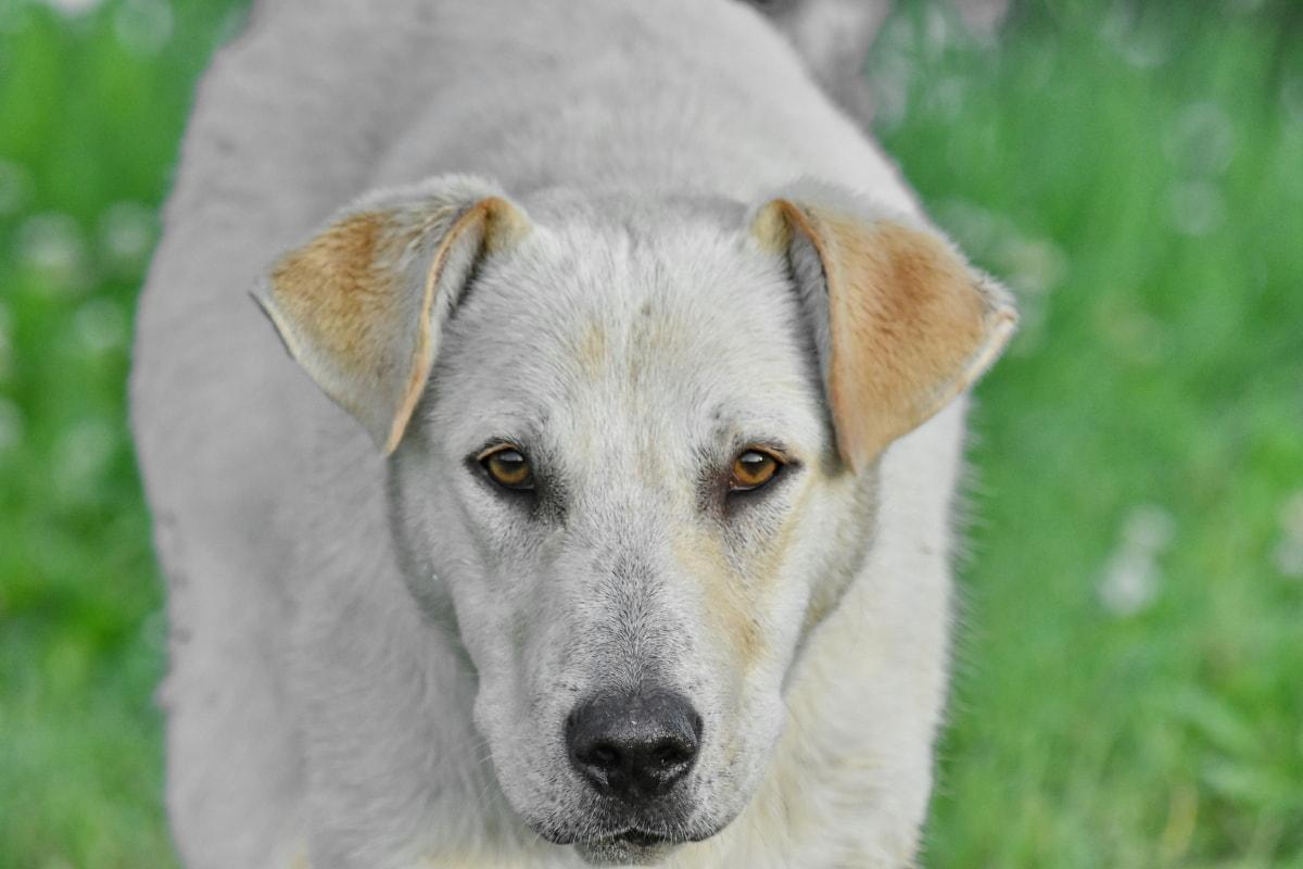 cane bianco di taglia grande