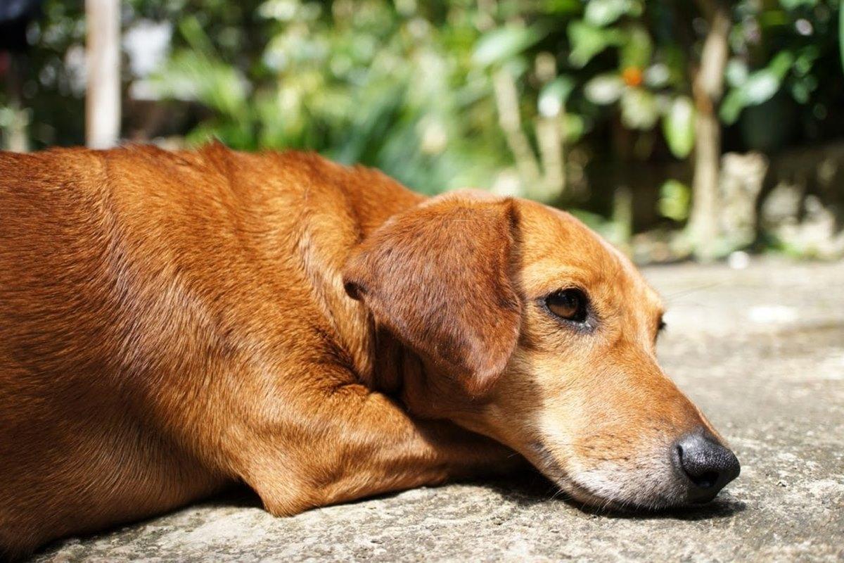 cane marrone a terra