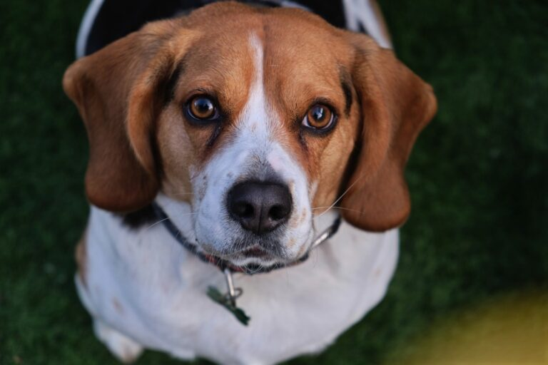beagle con lo sguardo molto dolce
