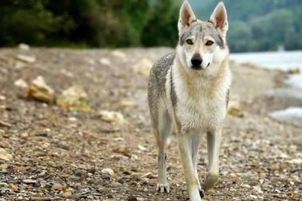 lupo selvatico