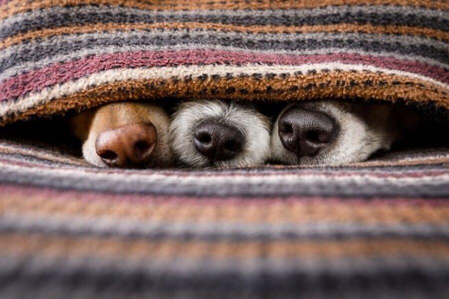 cani nascosti sotto le coperte