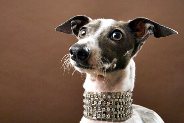 collare di diamanti per il cane