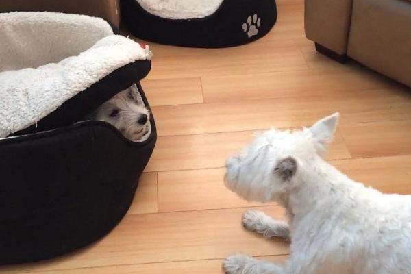 cani che giocano insieme