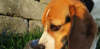 beagle che mangia i croccantini