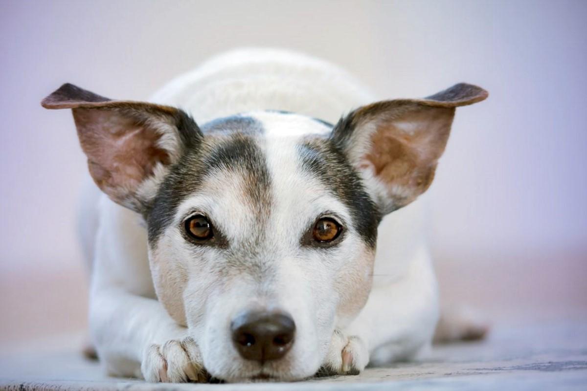 cane accucciato sul pavimento