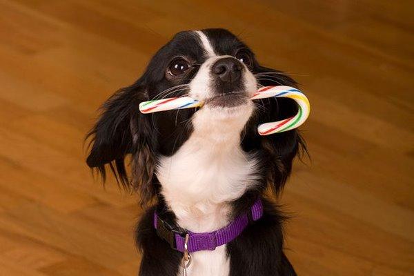 cane con una caramella in bocca