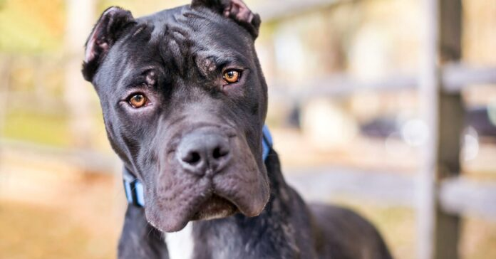 cane con le orecchie tagliate