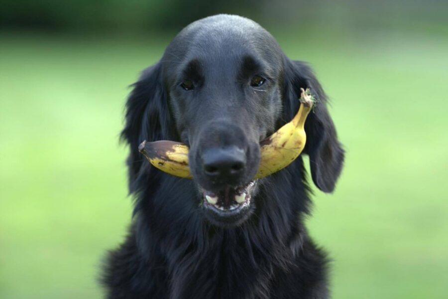cane mangia banana