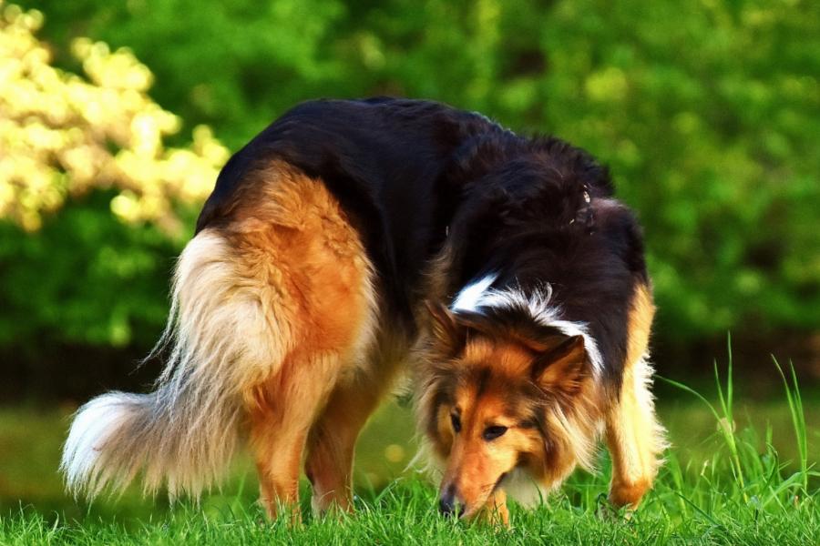 cane collie che annusa
