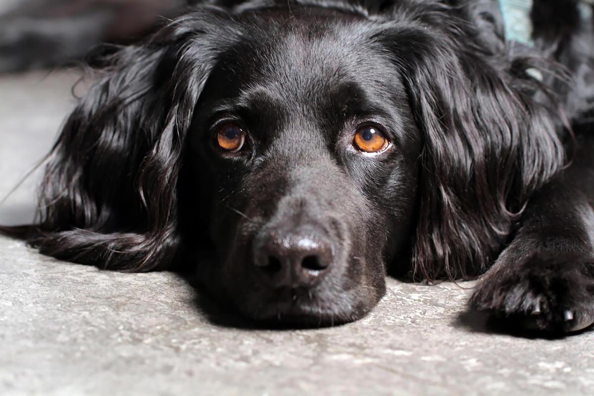 cane con occhi marrone