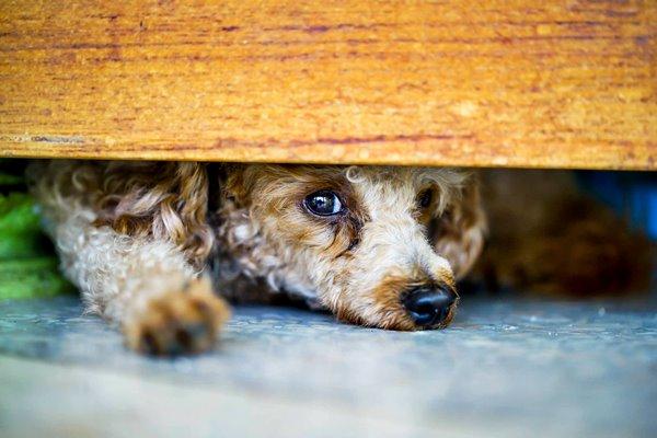 cane che si nasconde