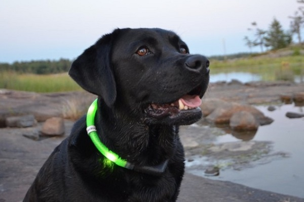 cane e collare luminoso