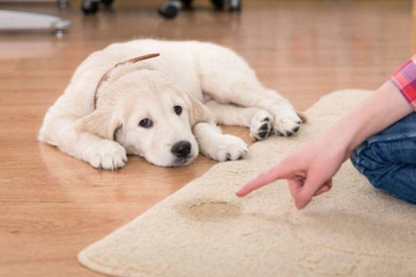 cane che fa la pipì a casa