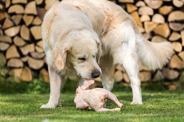 cane con pollo crudo tra i denti