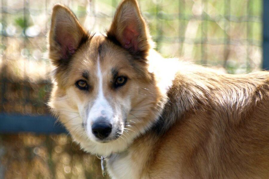 cane che somiglia a un lupo