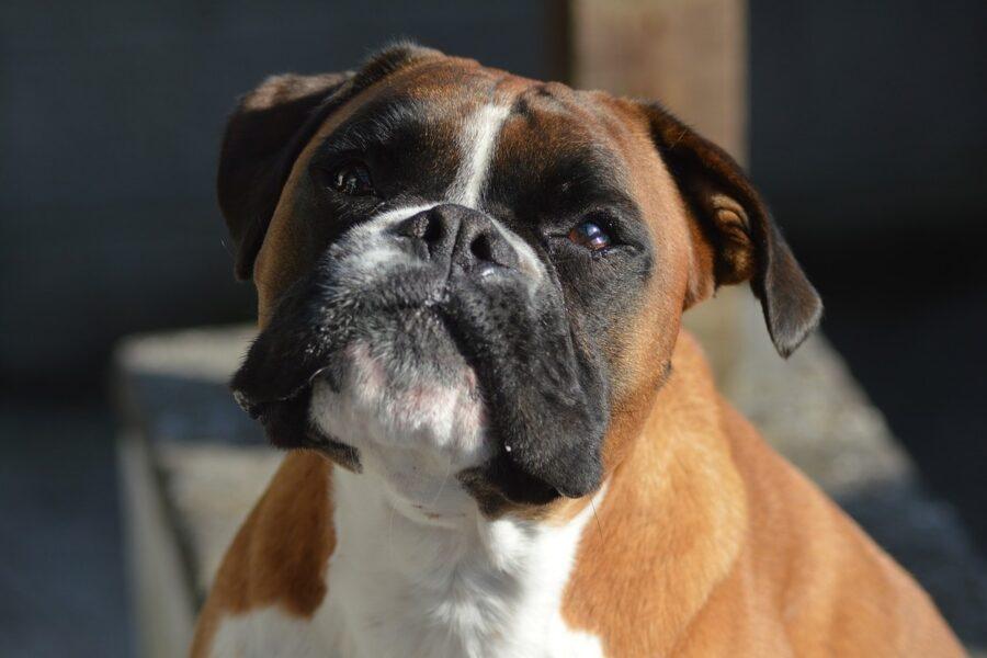 cane brachicefalo