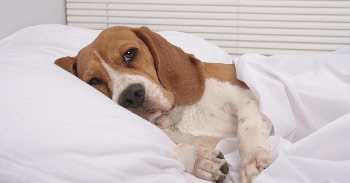 cane malato a letto