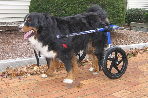 cane con rotelle