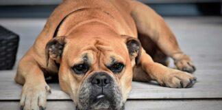 Il cane può essere scocciato? Ecco cosa bisogna sapere
