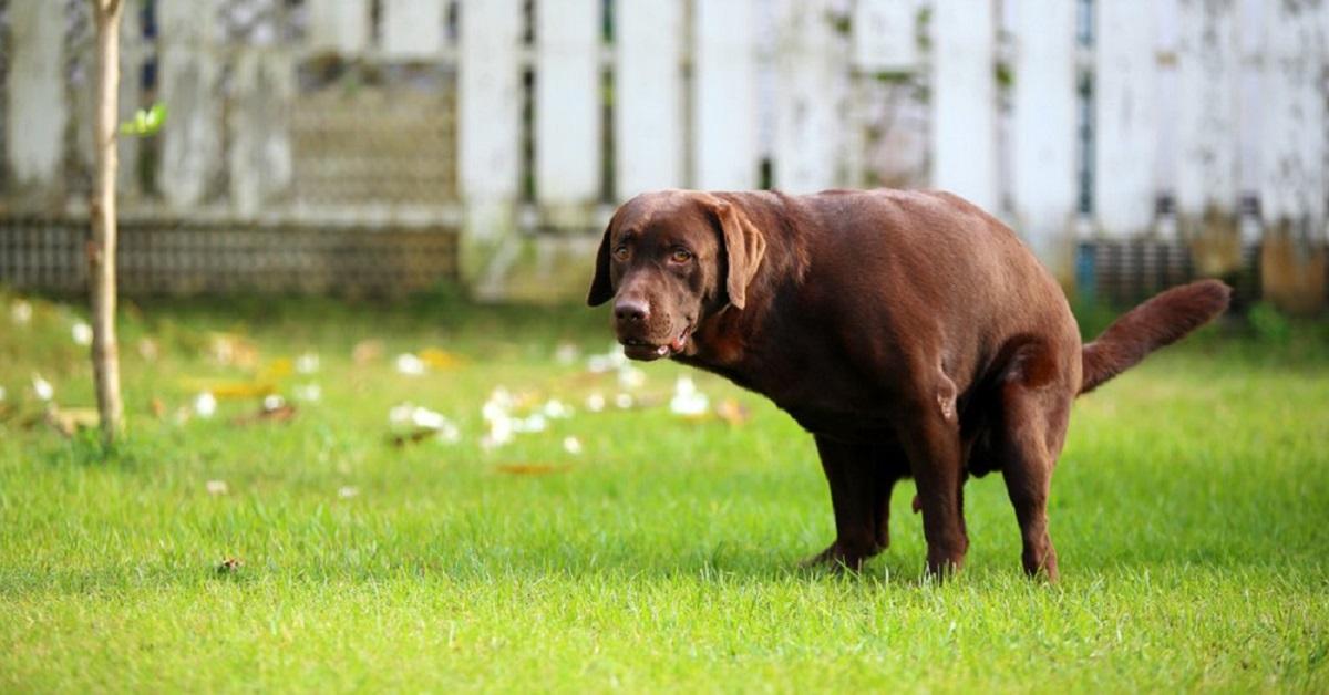 cane labrador retriever marrone