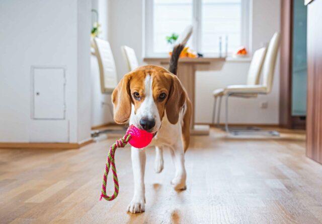 cane con giocattolo fra i denti