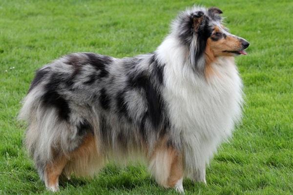 collie cane