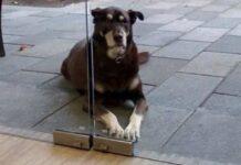 il-cane-affamato-chiede-del-cibo-ma-il-suo-collare-lo-tradisce